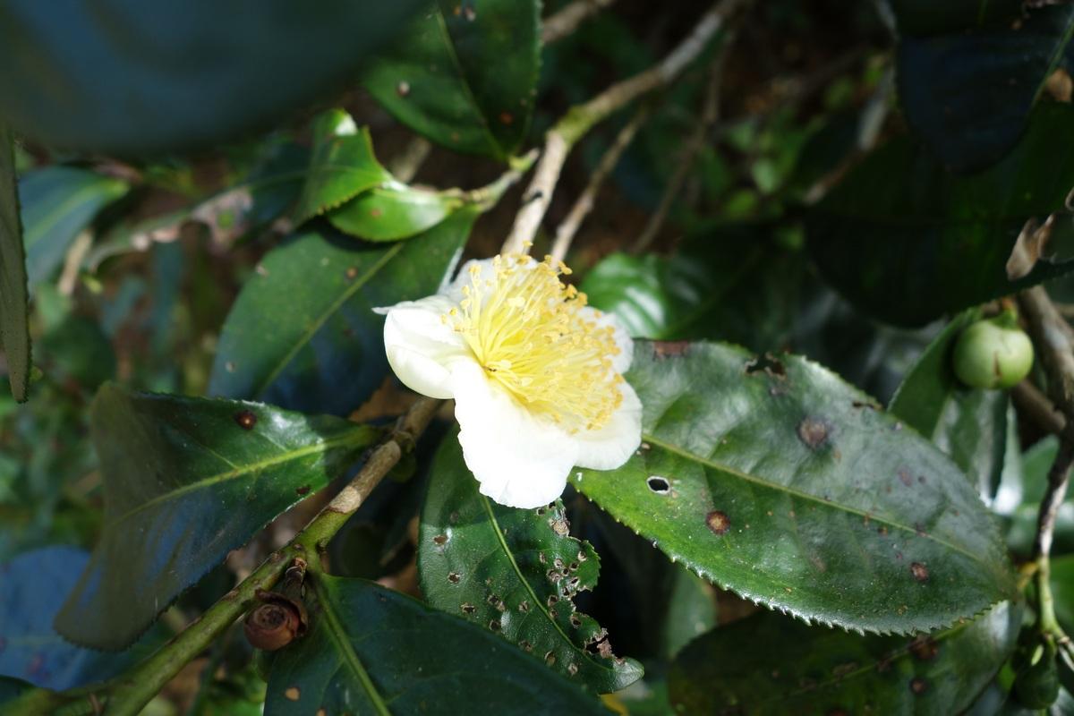 La fleur du théier
