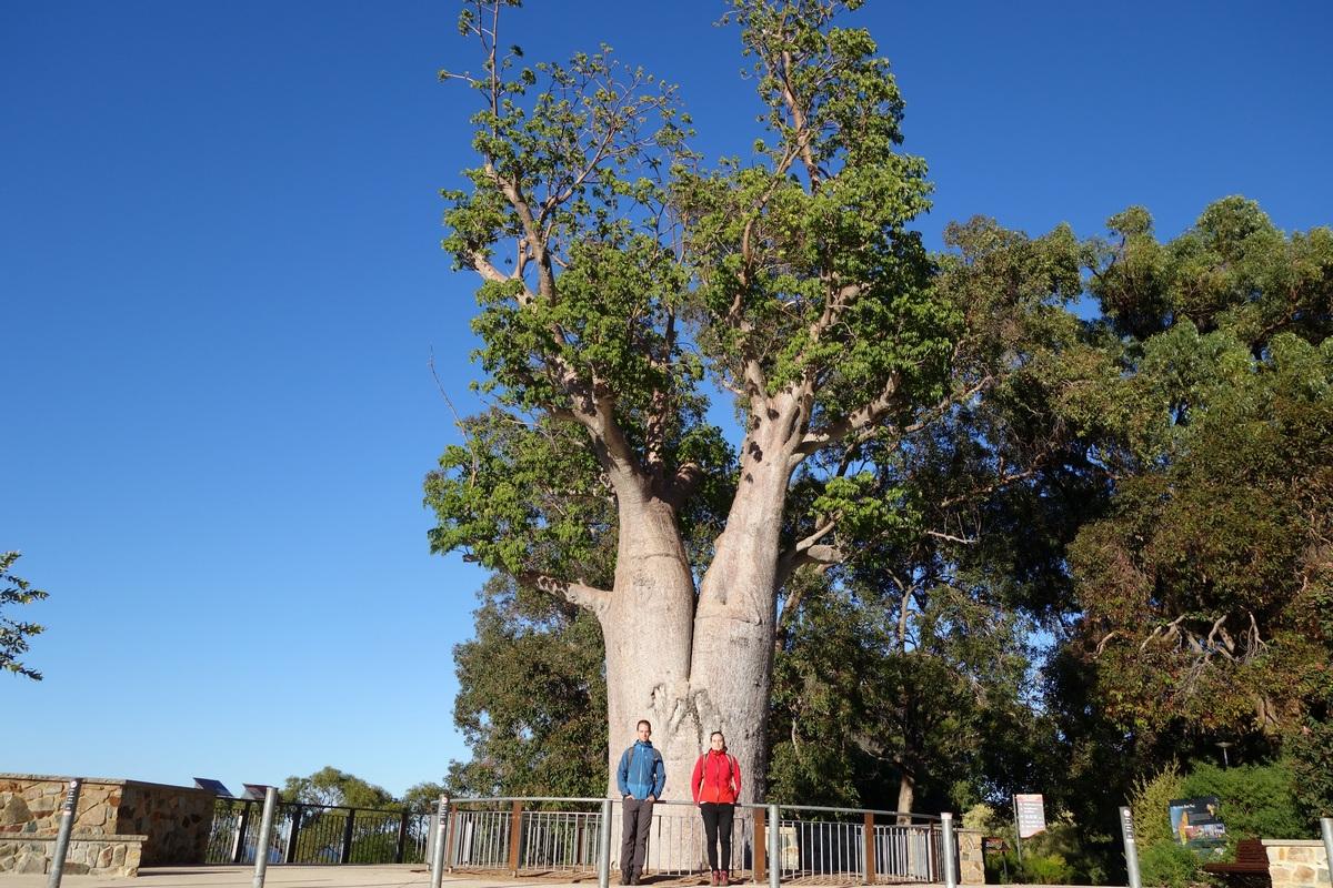 Ce baobab a été déplacé sur 3000 km depuis le Kimberley