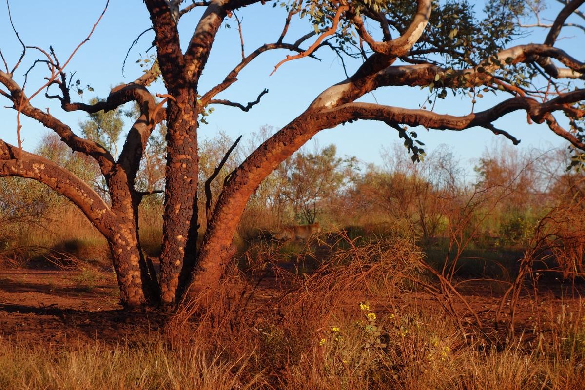Un dingo se cache dans le paysage...