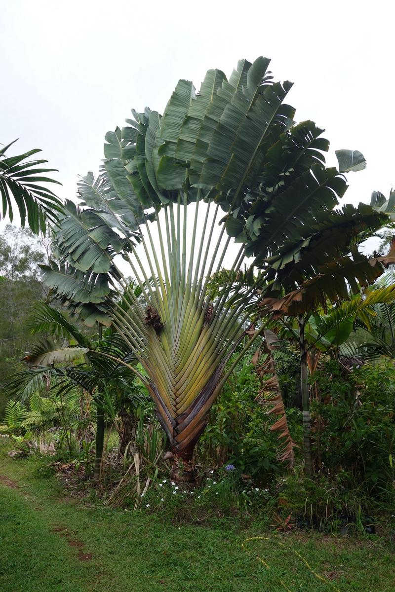 Le palmier du voyageur