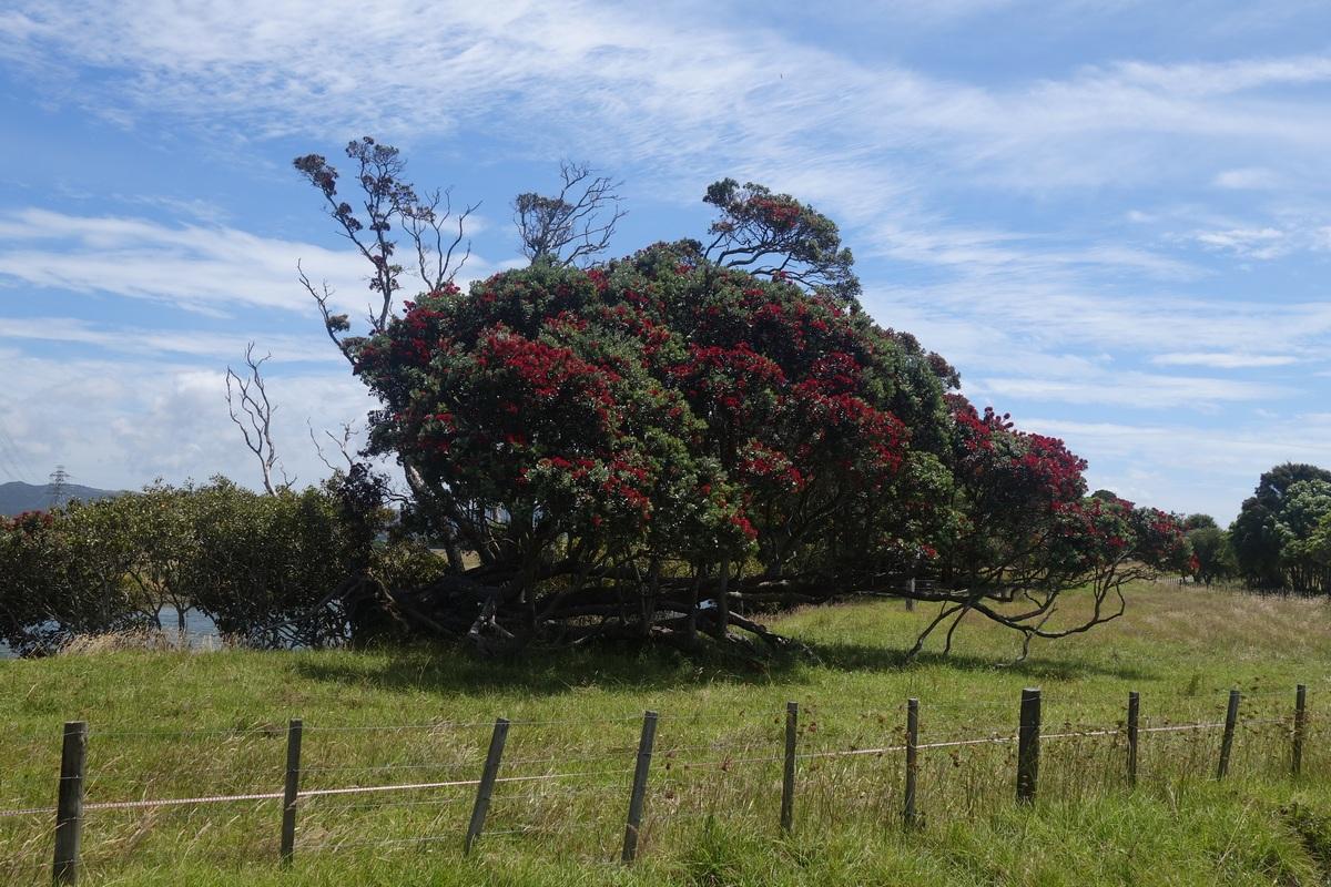 Les arbres de Noël, qui fleurisse en rouge pendant les fêtes